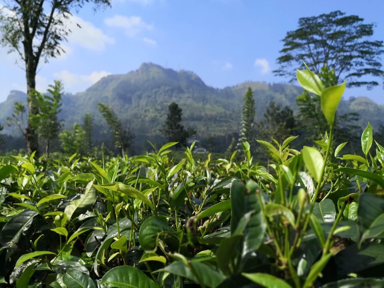 sri lanka tea plantage